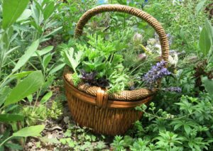 Medicinal Herbs and the Moon - Gardening by the Moon